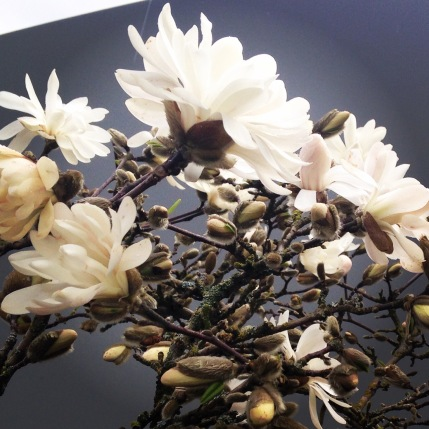 Star magnolia blooming near the parking lot at work