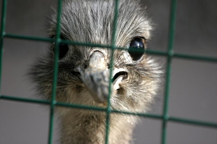 Stuck Ostrich