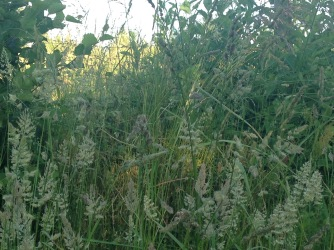 Grasses on my walk